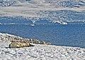 00 0203 Weddell seal in Antarctica - Melchior Archipelago.jpg