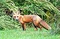021 Red Fox (8057818267).jpg