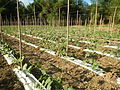 09656jfSan Rafael Bulacan Chapel Diliman Paddy Vegetable Fields Roadsfvf 13.JPG