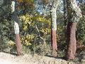 102.Tres Quercus suber.JPG