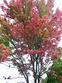 1462017 Autumn-foliage--Charlotte 620.jpg