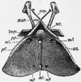1911 Britannica-Arachnida-Palamnaeus indus2.png