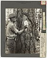 1933. P.C. Johnson blazes and numbers tree infested by pine beetles. Lassen National Forest, California. (32744063413).jpg