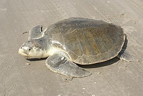 2009 Kemp's ridley sea turtle project at Padre Island National Seashore (9f74a803-a05f-4adf-aab8-951a59fed856).jpg