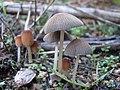 2011-10-29 Parasola auricoma (Pat.) Redhead, Vilgalys & Hopple 178226.jpg