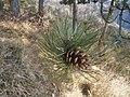 2012-03-24 15h49 piste DFCI au nord de Luceram probablement une Pomme de pin noir.jpg