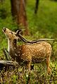 2012-bandipur-chital.jpg