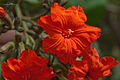 2013.06-406-015ap Geiger tree=scarlet cordia(Cordia sebestena(Boraginaceae) Dakar,SN sat01jun2013-1052h.jpg