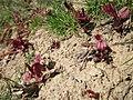 20130407Reynoutria × bohemica4.jpg