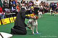 2013 Westminster Kennel Club Dog Show- Brittany (8467940341).jpg