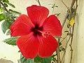 2014-07-16 08.52.01زهرة حمراء بحديقة بيت الوالد بمدينة بوسعادة.jpg