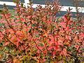2014-12-20 13 09 20 Leaf coloration of Azalea cultivar 'Rosebud' during early winter along Terrace Boulevard in Ewing, New Jersey.JPG