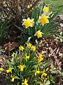 2015-04-13 15 06 58 Daffodils blooming on Terrace Boulevard in Ewing, New Jersey.jpg