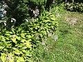 2015-07-20 12 22 55 Hosta flowering along Terrace Boulevard in Ewing, New Jersey.jpg