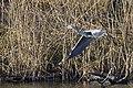 20150323 020 Kessel Weerdbeemden Vliegende Blauwe Reiger (16719500250).jpg