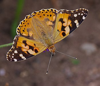 Colourful butterfly - Vanessa cardui.