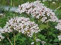 20160620Valeriana officinalis5.jpg