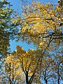 2017-11-10 15 52 23 View up into the canopy of several Tulip Trees during late autumn within Hosepen Run Stream Valley Park in Oak Hill, Fairfax County, Virginia.jpg