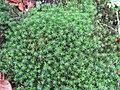 2017-12-28 (149) Polytrichum (haircap moss) at Weißenburggegend.jpg