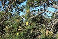 2018-01-31 171400 Banksia Attenuata, Nambung National Park, West Australia anagoria.JPG