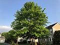 2018-05-11 19 04 00 Pin Oak in mid-late spring along Ladybank Lane in Oak Hill, Fairfax County, Virginia.jpg