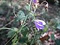 20201010Campanula rotundifolia2.jpg