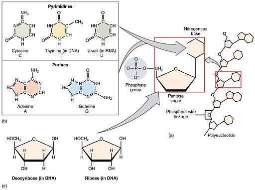 228 Nucleotides-01