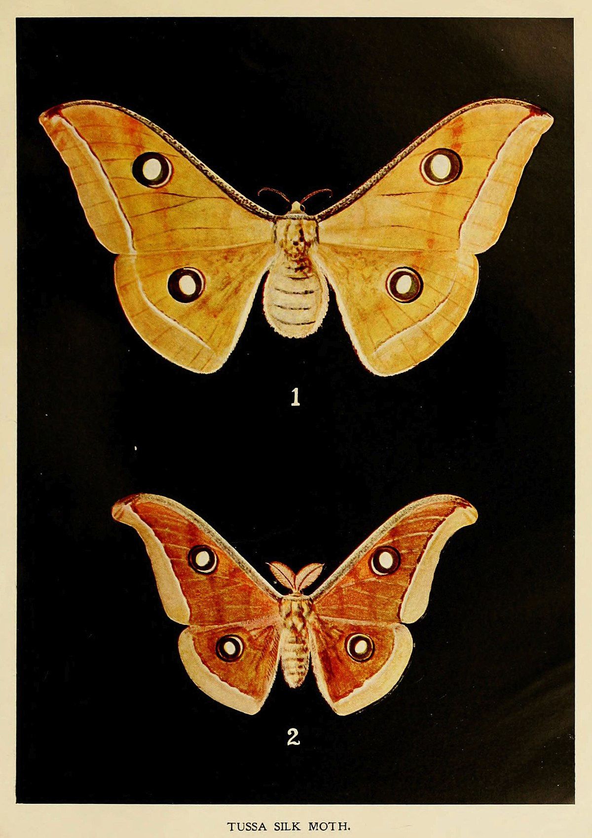 Antheraea Paphia Wikipedia
