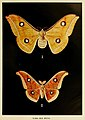 24-Indian-Insect-Life - Harold Maxwell-Lefroy - Antheraea-paphia.jpg