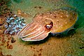 42-EastTimor-Dive 1 Tasi-Tolu 41 (Cuttle-Fish)-APiazza.JPG