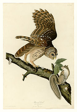 46 Barred Owl.jpg