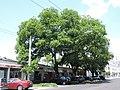 4 Schnurbäume.JPG