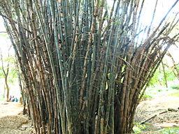 51- Bamboos