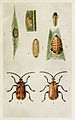 73-Indian-Insect-Life - Harold Maxwell-Lefroy - Galerucella-rugosa.jpg