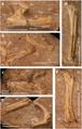 A. elainus FSAC-OB 2 holotype partial skeleton and FSAC-OB 217 metacarpal IV compressed.png