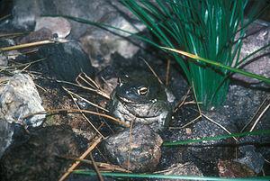 Arizona-Sonora Desert Museum - Sonoran Desert Toad, or Colorado River Toad at the museum