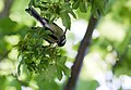 A Great Tit almost hanging upside down in a Field Maple tree.jpg