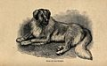 A St Bernard dog. Wood engraving by Butterworth and Heath af Wellcome V0021861.jpg