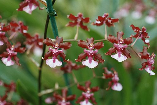 A and B Larsen orchids - Oncidium Sharry Baby 1063-21