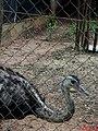 A ema (Rhea americana), também é chamada nandu ou nhandu. Seu habitat se restringe à América do Sul. Apesar de possuir grandes asas, não voa. Usa as asas para se equilibrar e mudar de direção - panoramio.jpg
