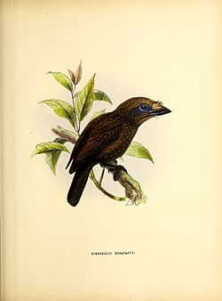 A monograph of the Capitonidæ, or scansorial barbets (19989207019).jpg