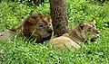 A pair of Lions.jpg