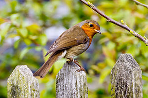 European robin - A robin perching on a fence
