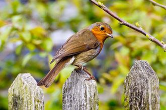European robin - A robin perching on a fence