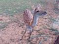 A sika deer in Green Island 2006 01.jpg