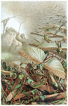 A swarm of locusts (cleaned) - Emil Schmidt.jpg
