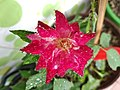 A variety of bangladeshi rose (4).jpg