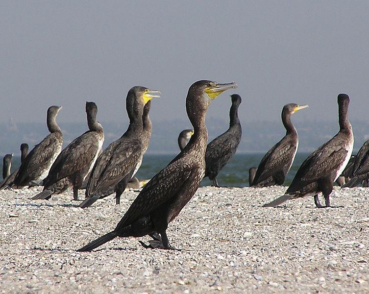 Bi čierne vtáky