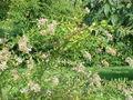 Abelia chinensis3.jpg