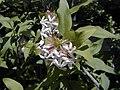 Abelia triflora.jpg